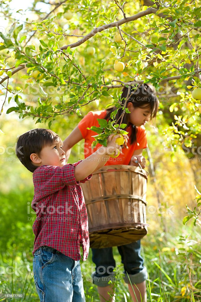 Brother helping sister pick apples from tree stock photo