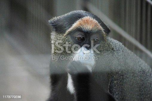 Brothera Guenon (Brother Monkey)