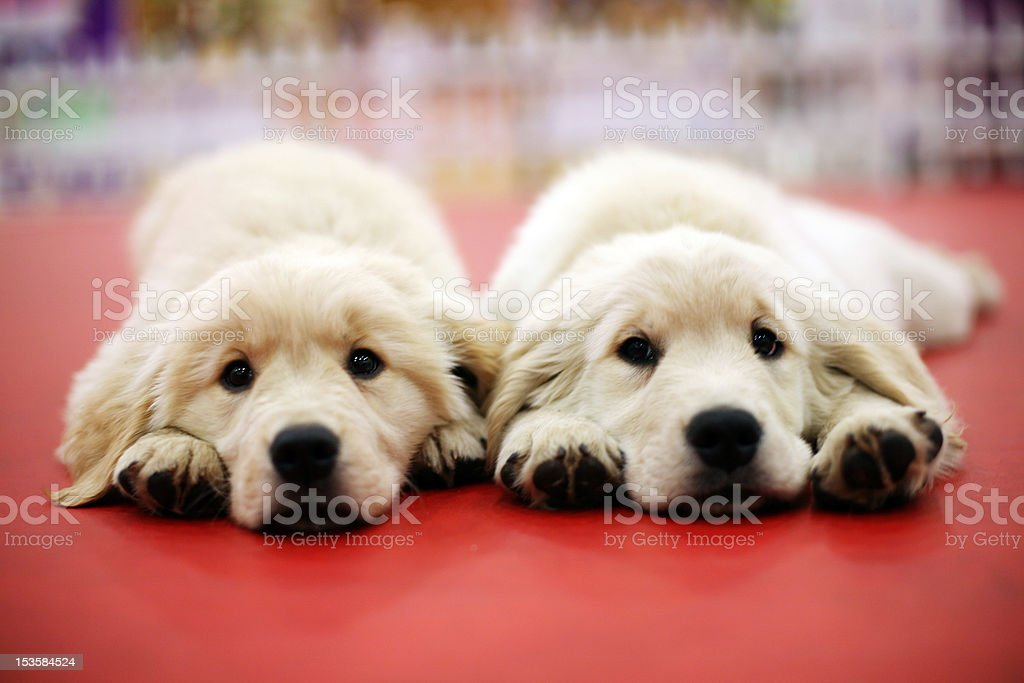 Brothers and two dogs royalty-free stock photo