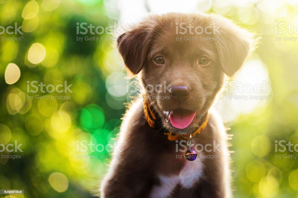 Brown adorable labrador retriever puppy dog portrait stock photo
