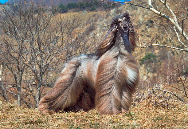 Brown afghan hound dog in a field, portrait stock photo