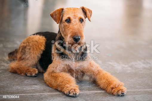 istock Brown Airedale Terrier Dog Close Up 497539044
