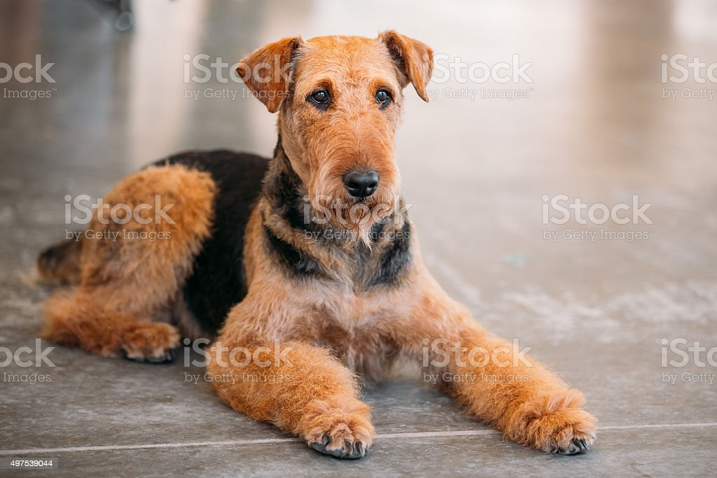 Brown Airedale Terrier Dog Close Up stock photo