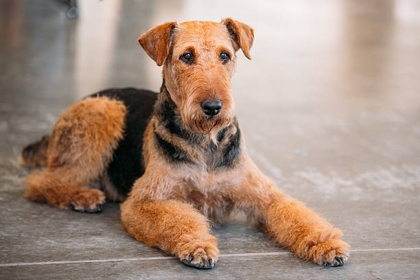 brown-airedale-terrier-dog-close-up-picture-id497539044