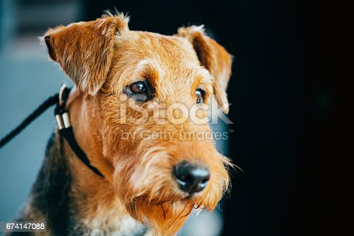 istock Brown Airedale Terrier Dog Close Up Portrait. 674147088