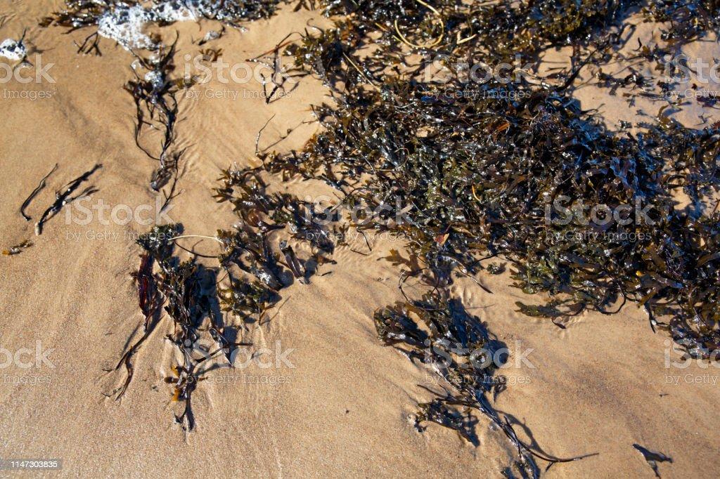 Brown algae on baltic sea sand - Royalty-free Algae Stock Photo