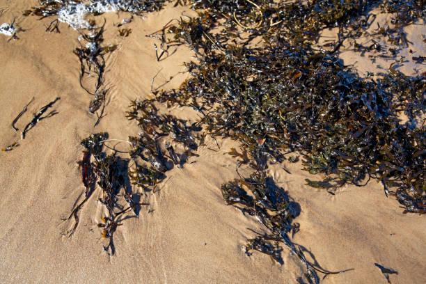 Brown algae on baltic sea sand stock photo