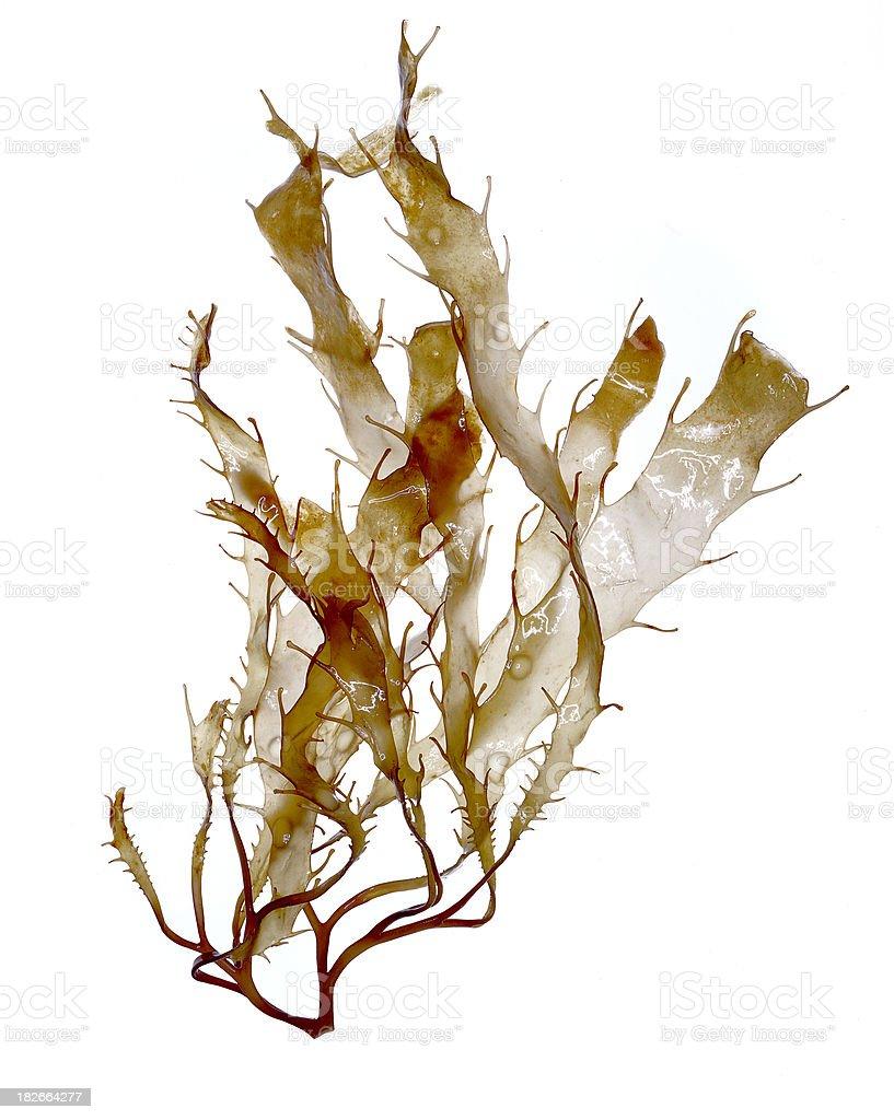 Brown Algae (Seaweed) Specimen royalty-free stock photo