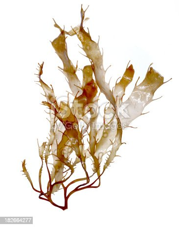 A sample of a brown alga (phaeophyta) from the Pacific Coastal waters off Southern California.