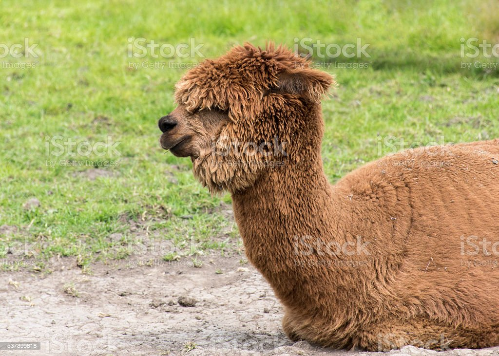 Brown Alpaca stock photo