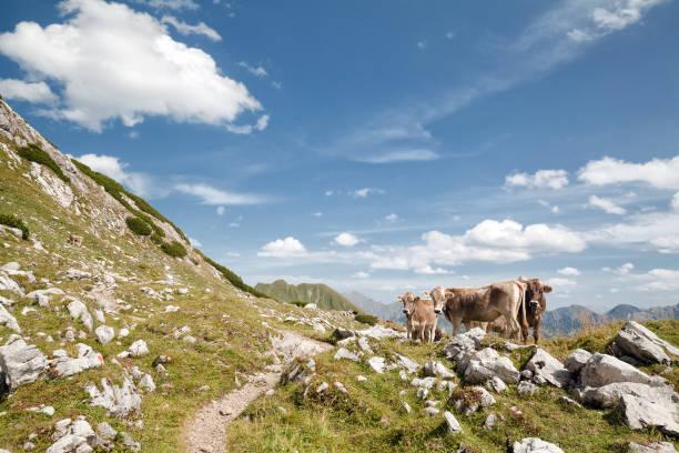 braune alpine kühe auf der weide in bergen, deutschland - berge in bayern stock-fotos und bilder