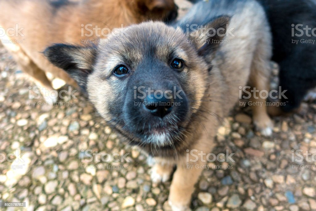 brown and black haired puppies are looking at the camera stock photo