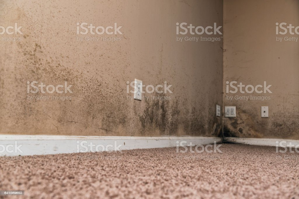 Brown and Black mold growing along the bottom of the walls in the...