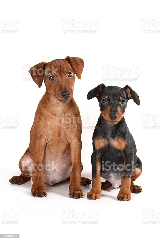 Brown and black pinscher puppy royalty-free stock photo