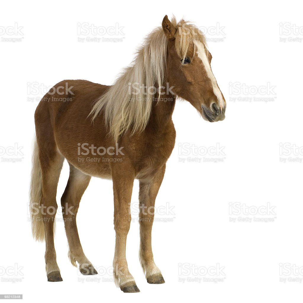 A brown and blonde shetland pony two years of age stock photo