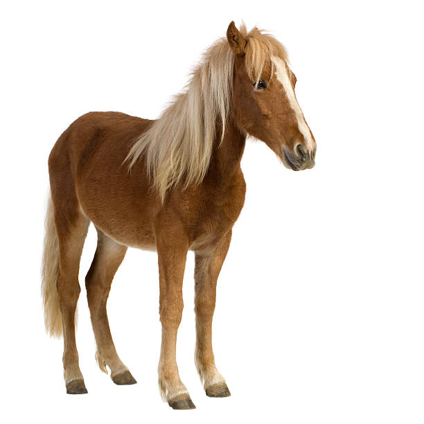A brown and blonde shetland pony two years of age Shetland pony (2 years) in front of a white background. pony stock pictures, royalty-free photos & images