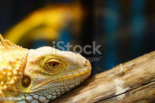 Iguana, Florida - US State, Animal, Animal Body Part, Animal Head