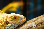 Iguana, Florida - US State, Animal, Animal Body Part, Animal Head