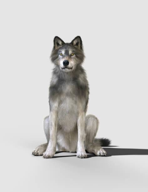 brown and gray wolf, canis lupus. - lobo cinzento imagens e fotografias de stock
