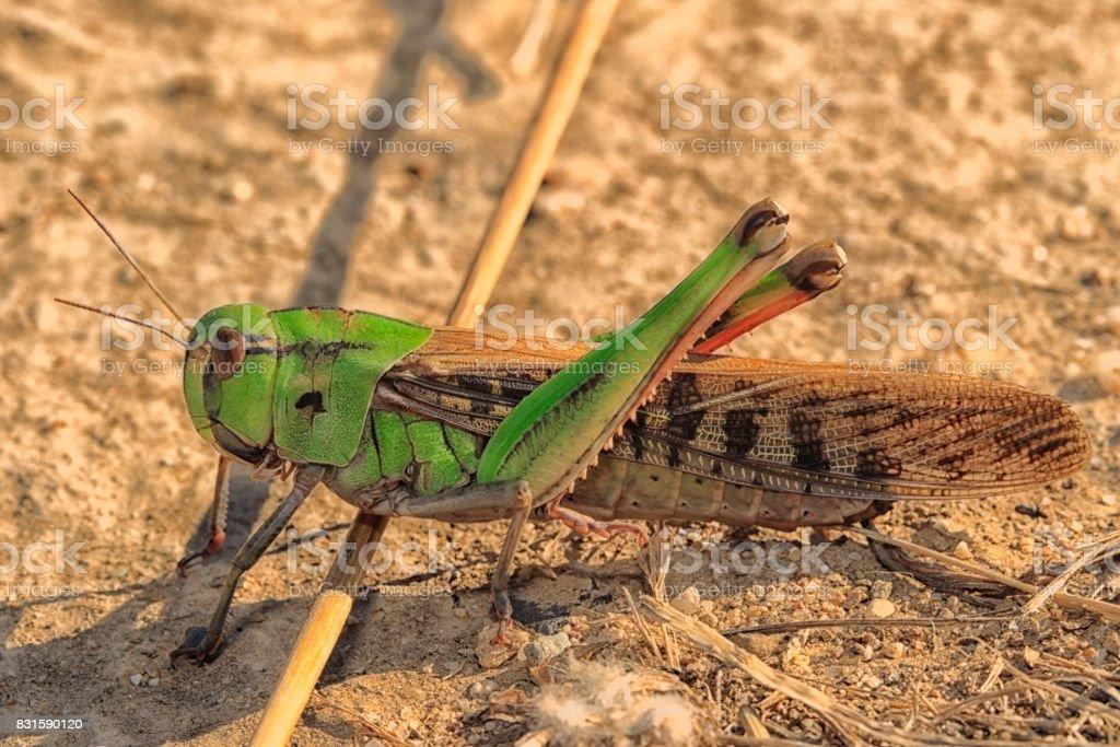 Criquet brun et vert (Locusta migratoria) stock photo