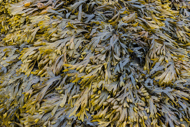 Brown and Green Seaweed​​​ foto