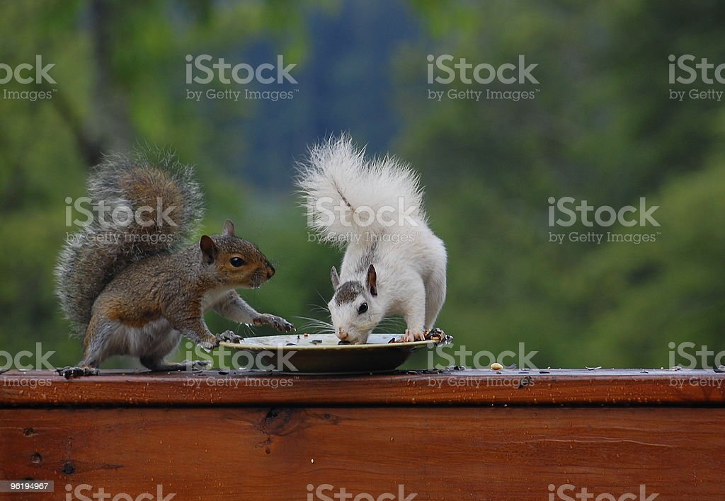 brown and rare white squirrel feeding together royalty-free stock photo