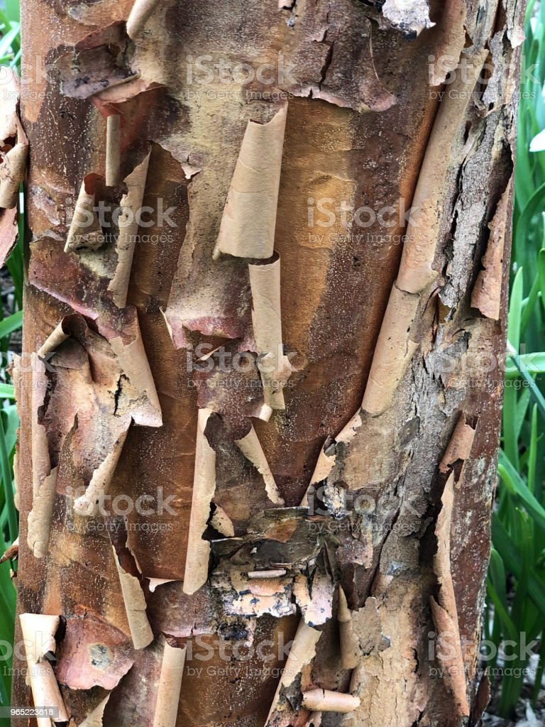 Brown and tan bark peeling off tree royalty-free stock photo