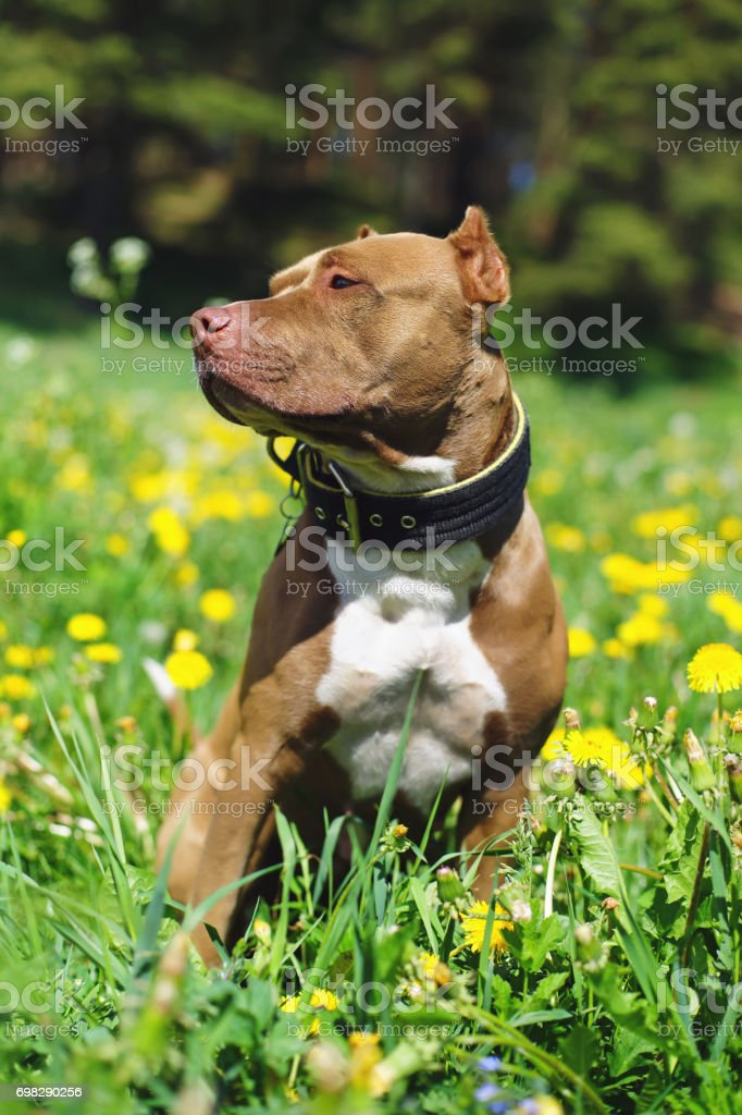 Brown and white American Pit Bull Terrier dog with cropped ears posing outdoors on a green grass with yellow dandelions stock photo