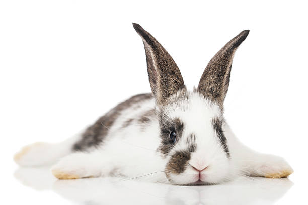 brown and white baby bunny laying on a white surface - rabbit stock photos and pictures
