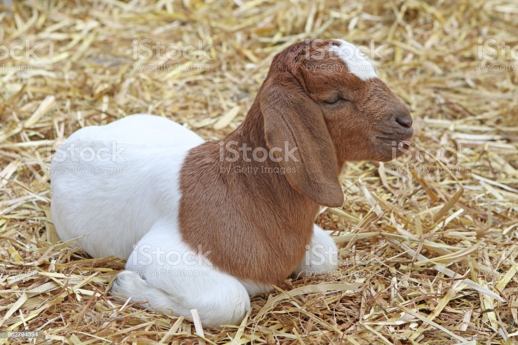 Brown And White Baby Goat - Foto stock royalty-free di Agricoltura