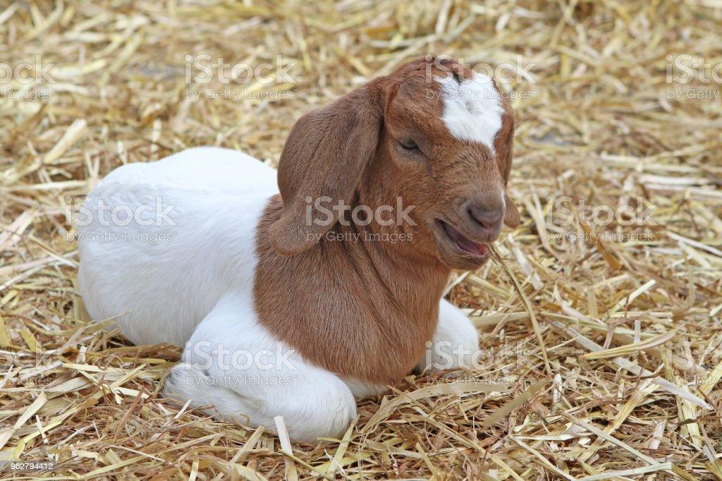 Brun et blanc bébé chèvre - Photo