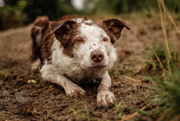 Brown and white border collie covered in dirt and mud while herding stock photo
