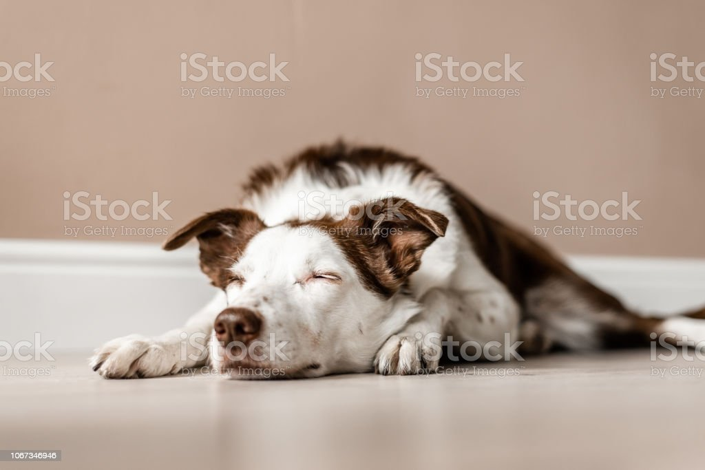 Brown and white border collie lays on the floor, with eyes closed stock photo