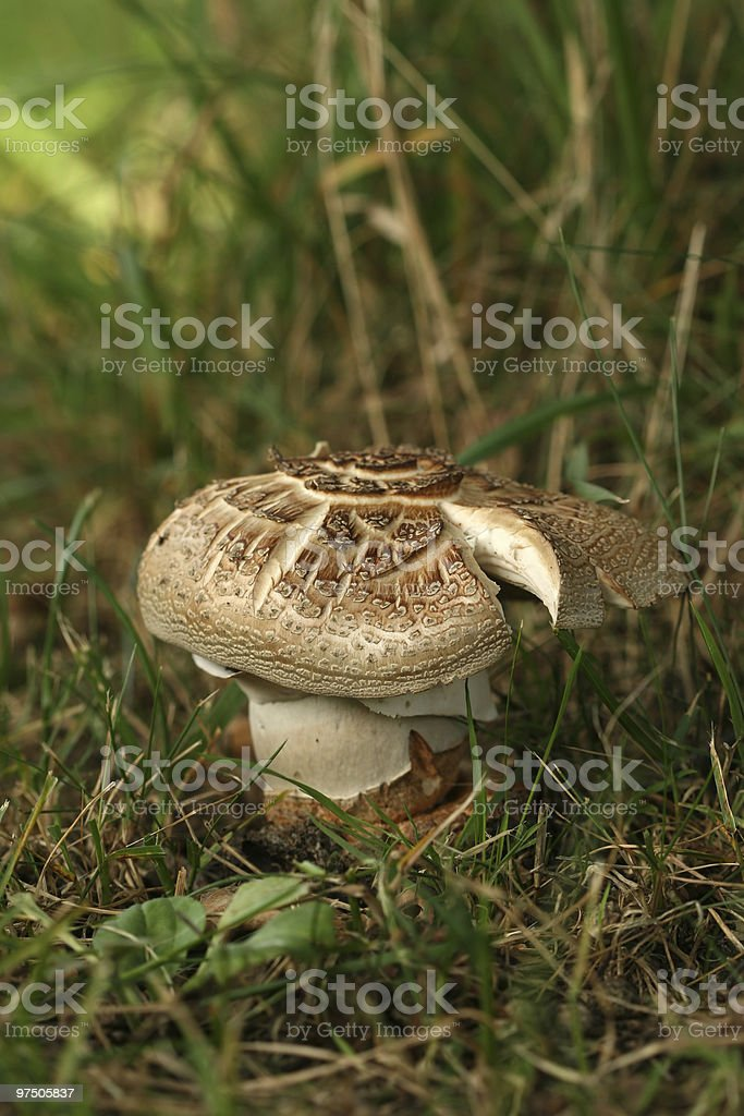 Brown and white colored mushroom royalty-free stock photo