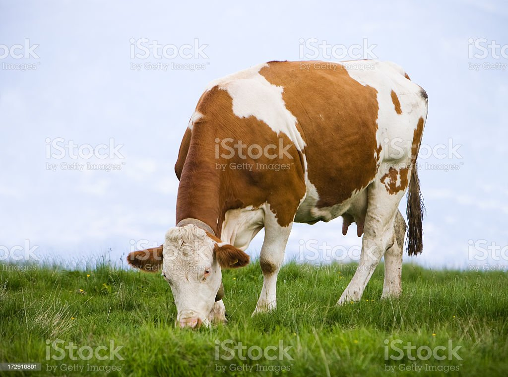Brown and white cow eating grass in a meadow stock photo