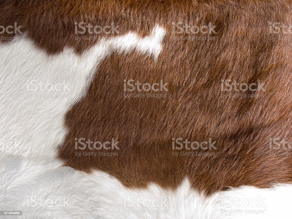 Brown and white cow skin fur rig royalty-free stock photo
