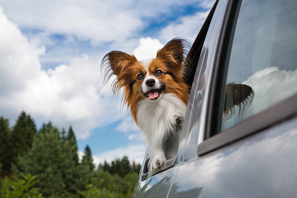 Brown and white dog enjoying a car ride stock photo