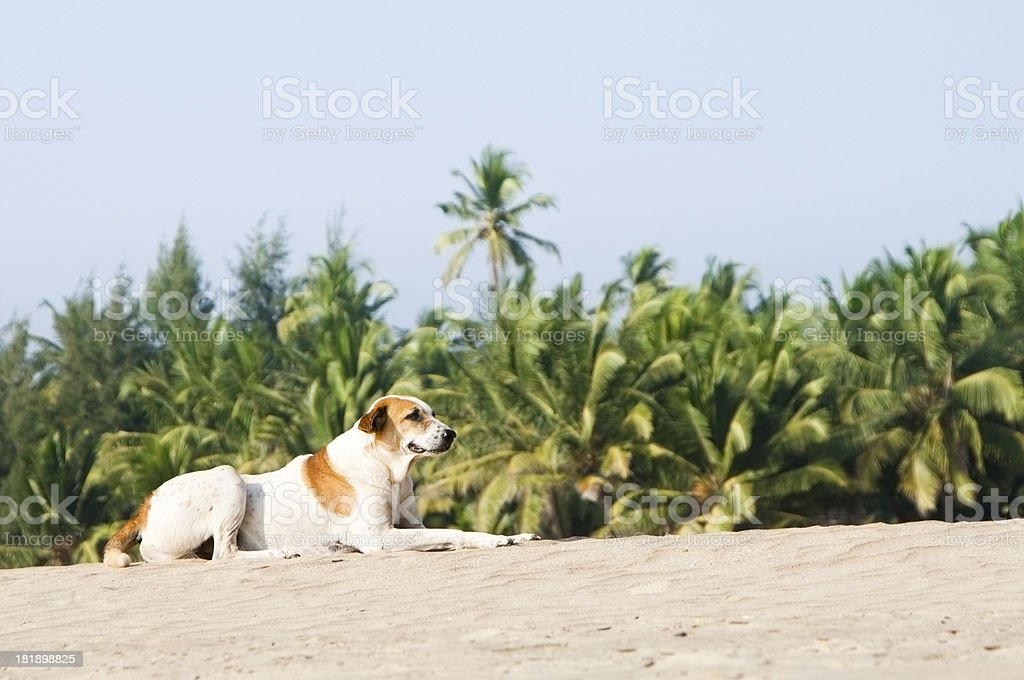 Brown and white dog lying on white sandy beach royalty-free stock photo