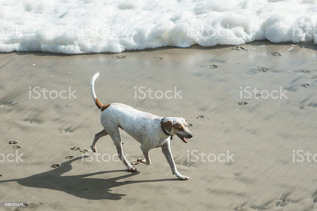 Brown and white dog runing on ocean beach, with waves in background.
