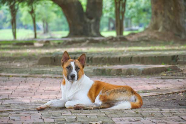 bruine en witte hond slapen op de vloer in het openbare park en kijken naar de camera. - dog looking at floor path stockfoto's en -beelden