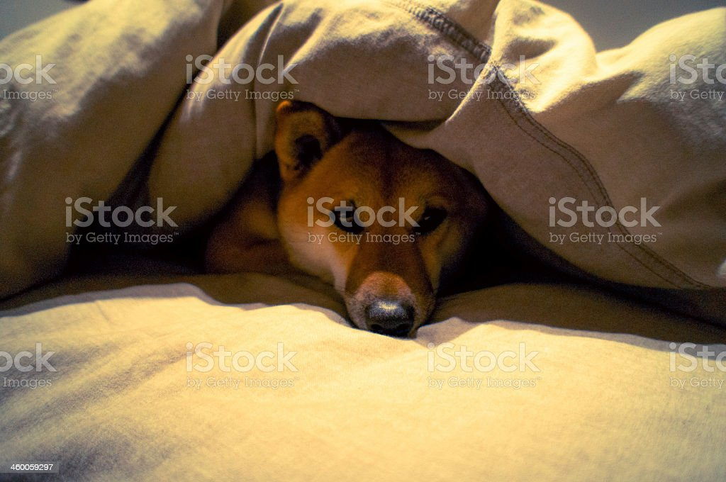 Brown and white dog under a thick blanket on a bed - Royalty-free Animal Stock Photo