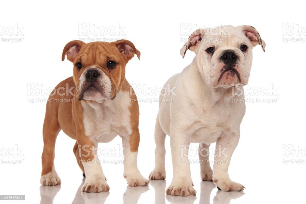 Brown And White English Bulldog Puppies Stock Photo Download Image Now Istock