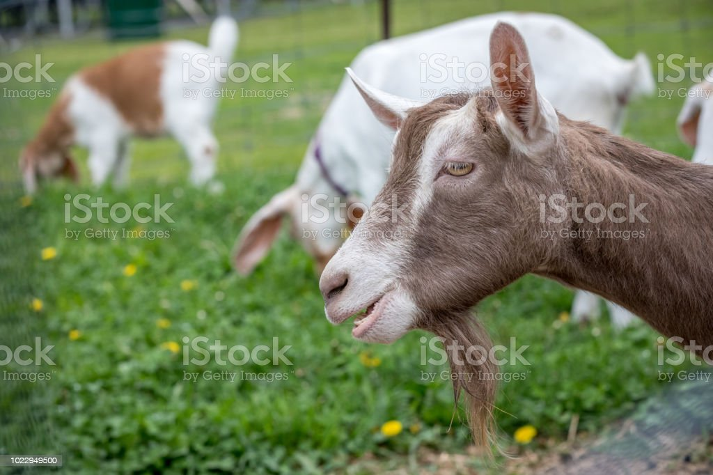 Brown and white funny goat goatee. royalty-free stock photo