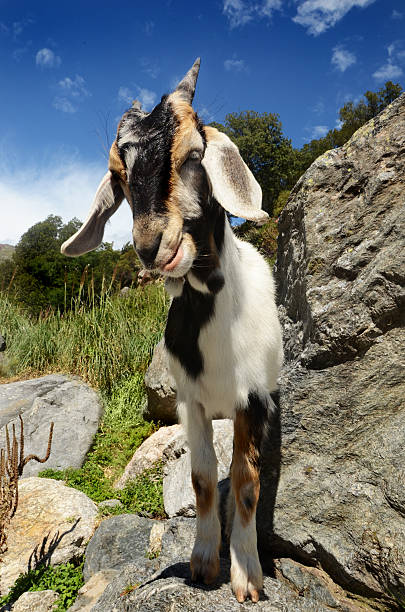 Brown and white goat on a mountain. stock photo