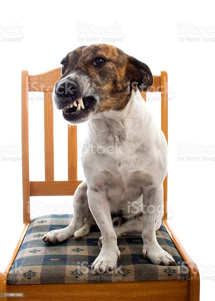 Brown and white growling dog sitting on wooden chair stock photo