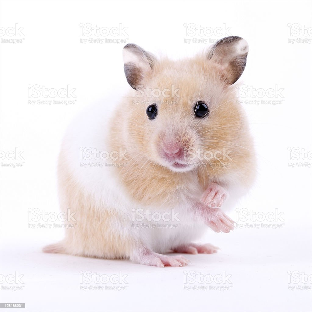 Brown and white hamster on white background stock photo