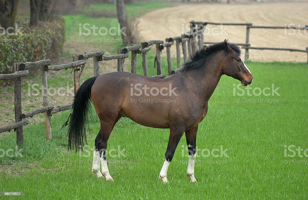 Brown and white horse on the grass, in a paddock royalty-free stock photo