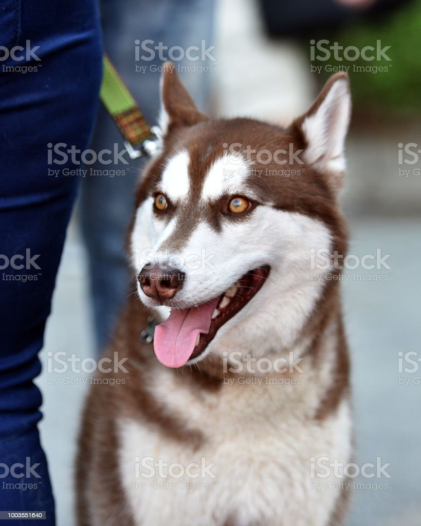 Brown And White Husky Puppy Stock Photo - Download Image Now