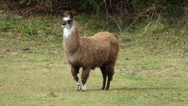 Brown and White Llama in Oregon stock photo