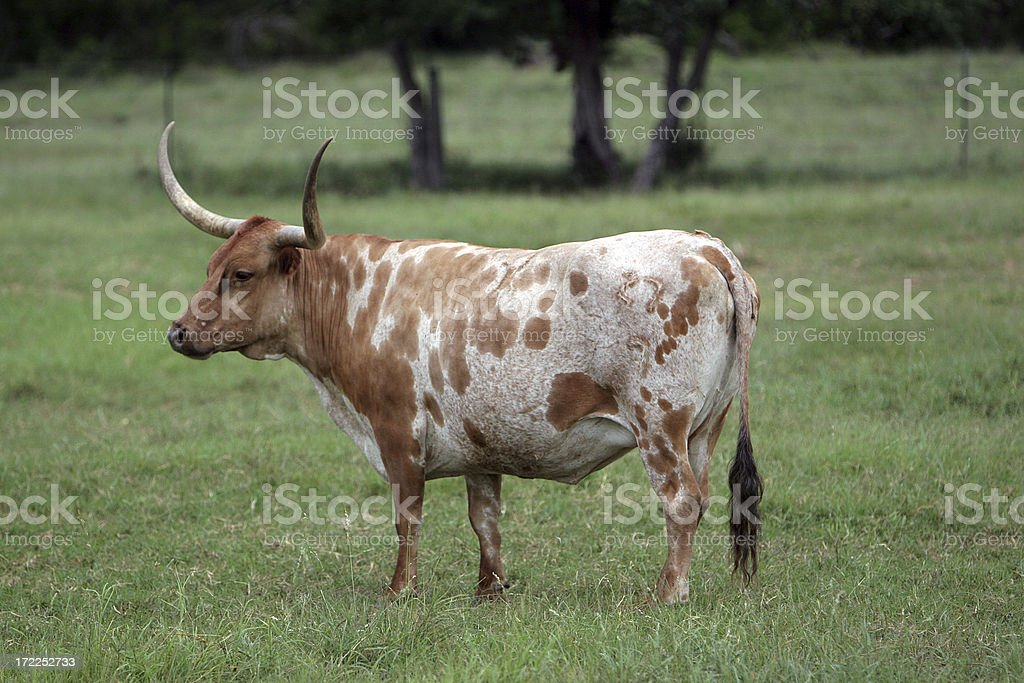 Brown and White Longhorn royalty-free stock photo